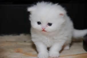 teacup cat 6