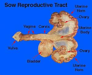 Wiring And Diagram  Diagram Of Uterus With Labels