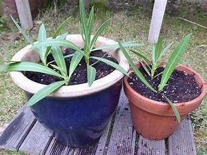 Oleander Stecklinge Wurzeln Nicht : beates blog oleander durch stecklinge vermehren mein ~ Lizthompson.info Haus und Dekorationen