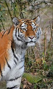 Close Up Portrait Of Siberian Amur Tiger Stock Photo ...