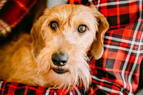 wire haired dachshund  character traits