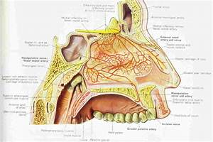 Nasal Anatomy And Physiology