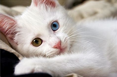 white cats white cat wallpaper beautiful desktop wallpapers 2014