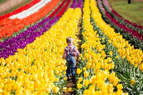 tulips festival in usa everyday at the festival tesselaar tulip festival