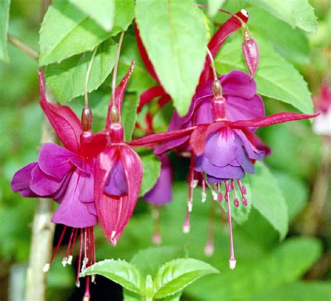 fuchsia name fuchsia color wikipedia