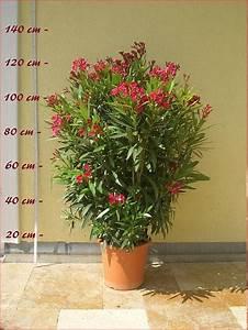 Oleander Winterhart Kaufen : oleander gr e c10 nerium oleander oleanderhof ~ Eleganceandgraceweddings.com Haus und Dekorationen