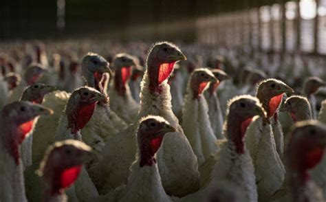 Why do we eat turkey on Christmas Day? How the big bird ...