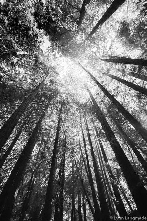 black  white photography california redwood trees