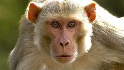 Monkey Monkeys Human Pig Background Transplant Gene