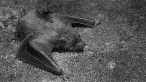small bat  stock photo public domain pictures
