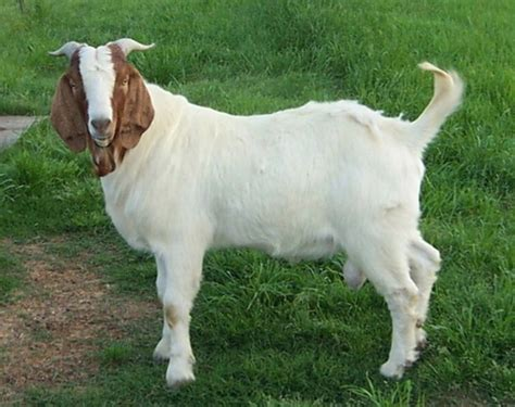 goat bakra hd wallpapers pictures images