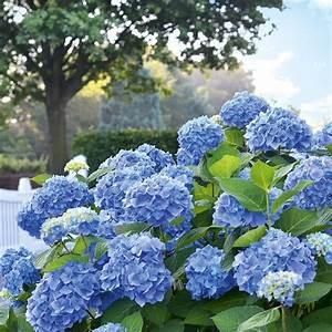 Hortensie Endless Summer Standort : hortensie 39 endless summer 39 blau online kaufen bestellen ~ Lizthompson.info Haus und Dekorationen