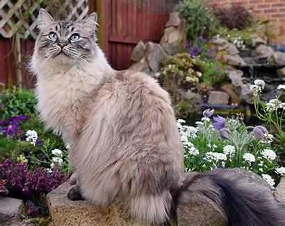 Cat Ragdoll Breeds Friendliest Breed Cats Cheatsheet