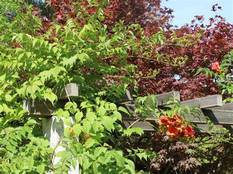 indian summer pflanze amerikanische klettertrompete indian summer 174 kudian csis tagliabuana indian summer