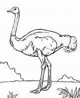 Coloring Emu Pages Birds Bird Ostrich Quiz African Printable Getcolorings Topcoloringpages Getdrawings sketch template