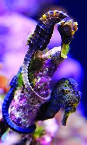 Purple Seahorse Species