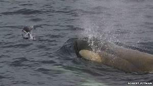 Penguinology: Penguins Are Regular Prey for Orcas