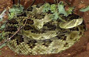 Cochise County Reptiles The Mojave Green Rattlesnake Ghost32Writer