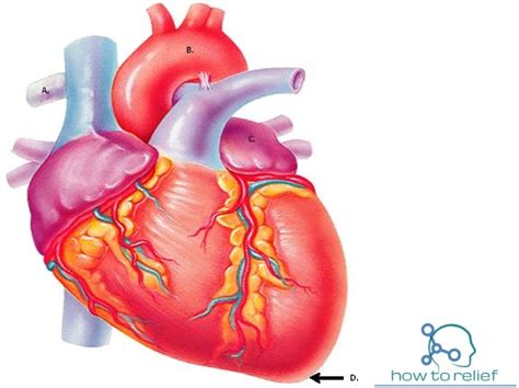 heart anatomy cardiac chamberarterial supply function