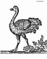 Coloring Ostrich Ostriches Labels Coloringpages4kids sketch template