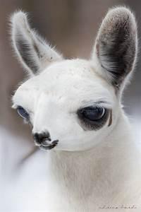 Fluffy Baby Llamas   www.imgkid.com - The Image Kid Has It!