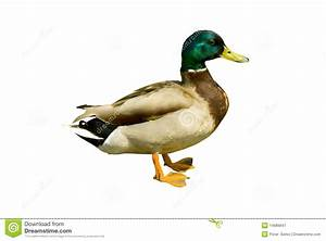 Mallard Duck Clipart - Clipart Suggest