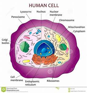 Human Cell Diagram Stock Vector  Illustration Of Vector