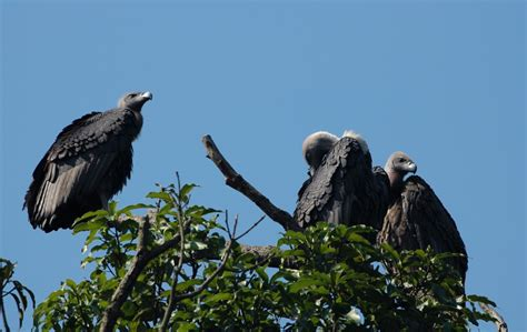 Conservation Of The White Rumped Vulture Gyps Bengalensis