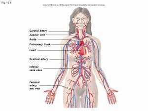 Carotid artery Jugular vein Aorta Pulmonary trunk Heart ...