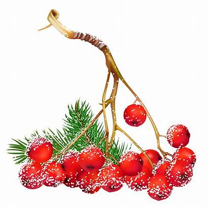 Winter Clipart Berry Transparent Berries Holly Christmas