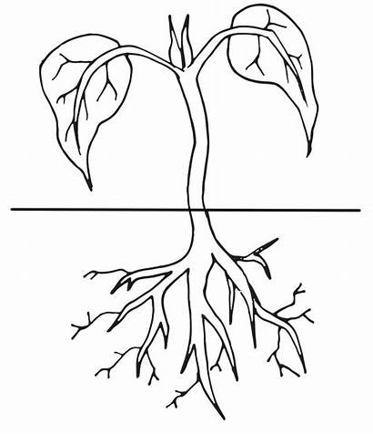 Plant Clipart Coloring Cycle Roots Plants Colouring