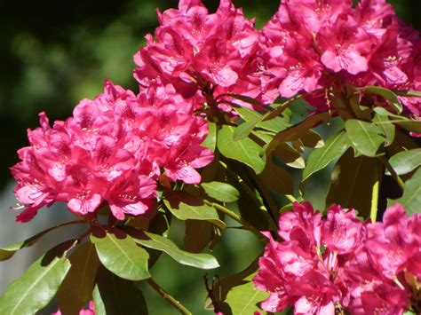 rhododendron photos fertilizing rhododendron bushes learn how and when to feed a rhododendron