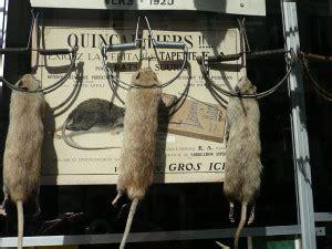 was tun gegen wanderratten ratten bek 228 bei befall im brennholz lager