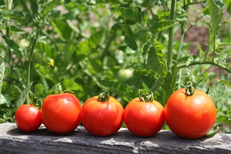 gardening tomatoes garden tomatoes avocado hemp salad lettuce be healthy with kim lam