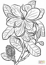 Magnolia Coloring Pages Southern Bull Bay Para Colorear Drawing Printable Library Paper sketch template