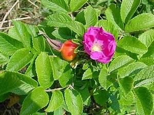 Rose In Kartoffel Anpflanzen : rosa rugosa kartoffel rose ~ Lizthompson.info Haus und Dekorationen