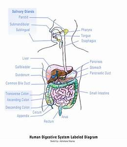 12 Best Digestive System Images On Pinterest