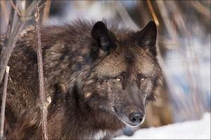 The Black Alpha Wolf - Dogs & Animals Background ...