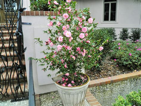 growing camellias in containers genes nursery