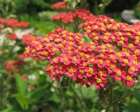 Sonoma Nursery by Native Plant Spotlight Achillea Millefolium Yarrow