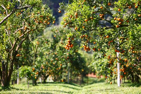 fruit trees  grow   calgary fivestar landscaping