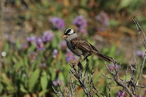 white crowned sparrow zonotrichia leucophrys natureworks