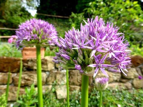 Blumenzwiebeln Pflanzen In Garten Und Topf