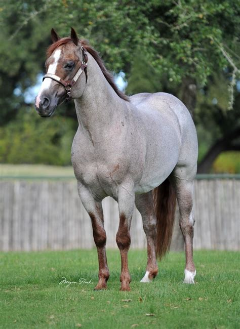 quarter boon horses ranch king peptoboonsmal sorrel foundation san sire cat son