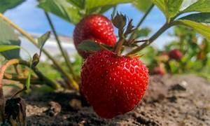 Faire Pousser Des Fraises : 9 conseils pour faire pousser des fraises sucr es en abondance trucs pratiques ~ Melissatoandfro.com Idées de Décoration