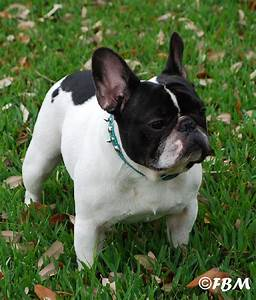 The gallery for --> Red Pied French Bulldog