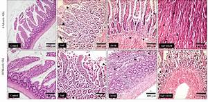 Histology Of The Rat Small Intestine After 90 Days