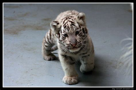 baby tiger white baby white tiger wallpapers wallpaper cave