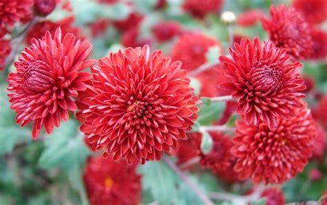 Rudens gėlės: naudinga informacija apie chrizantemas ...
