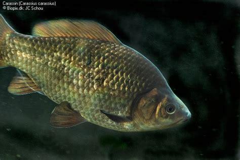 comment cuisiner le poisson comment cuire le poisson maison design hompot